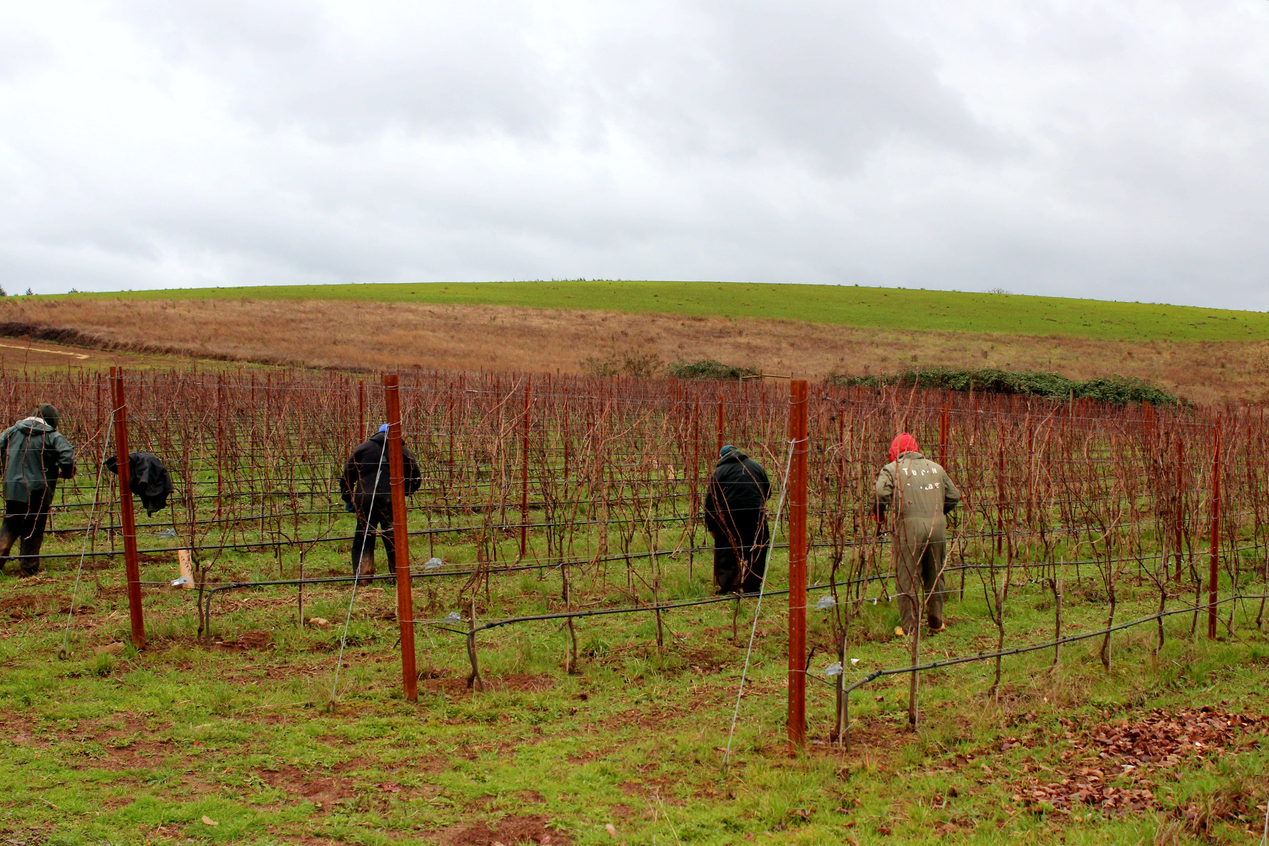 pruning at Ponzi Vineyards