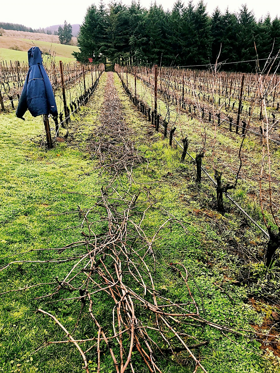 pruned and caned row at Ponzi Vineyards