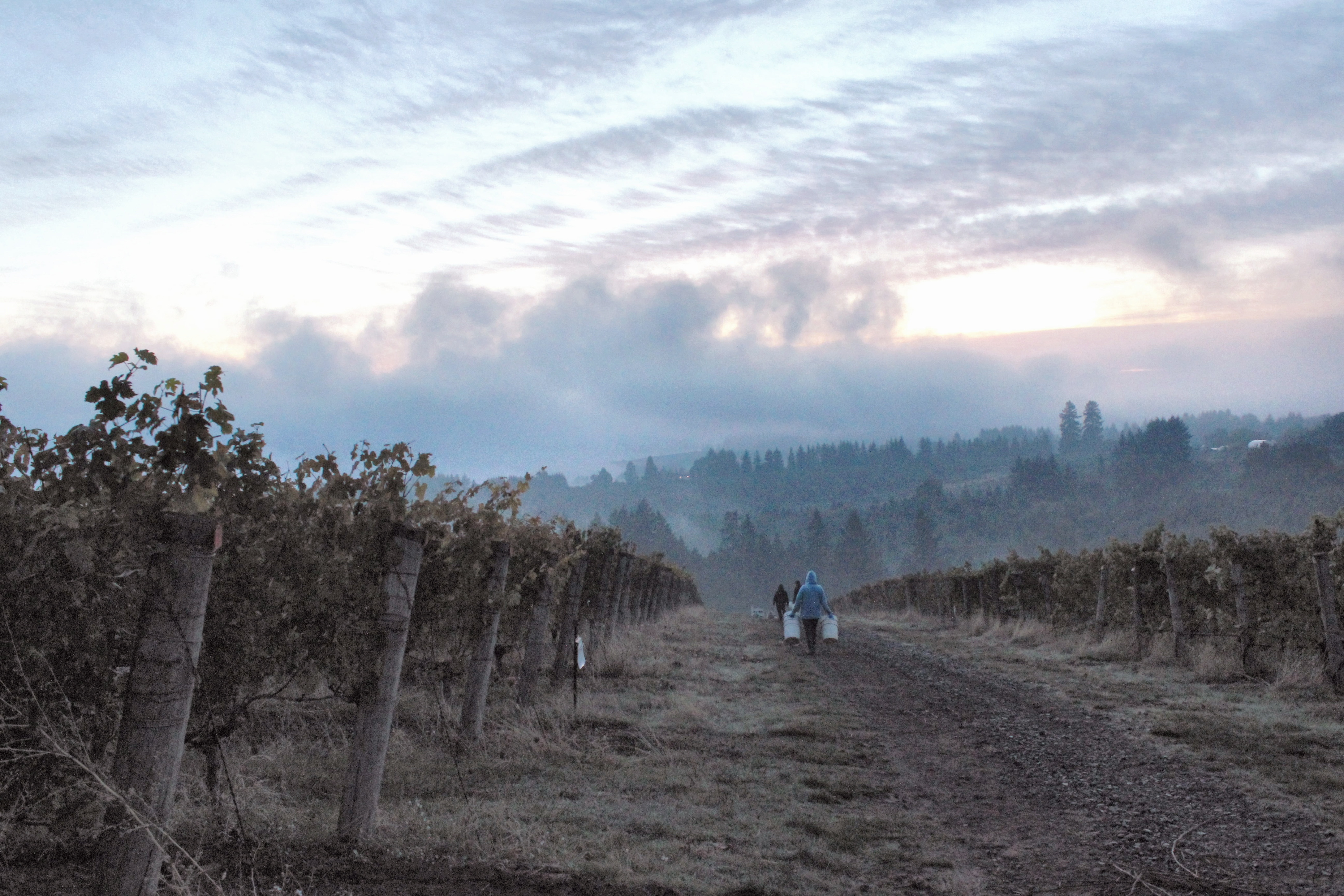 sunrise at Ponzi Vineyards