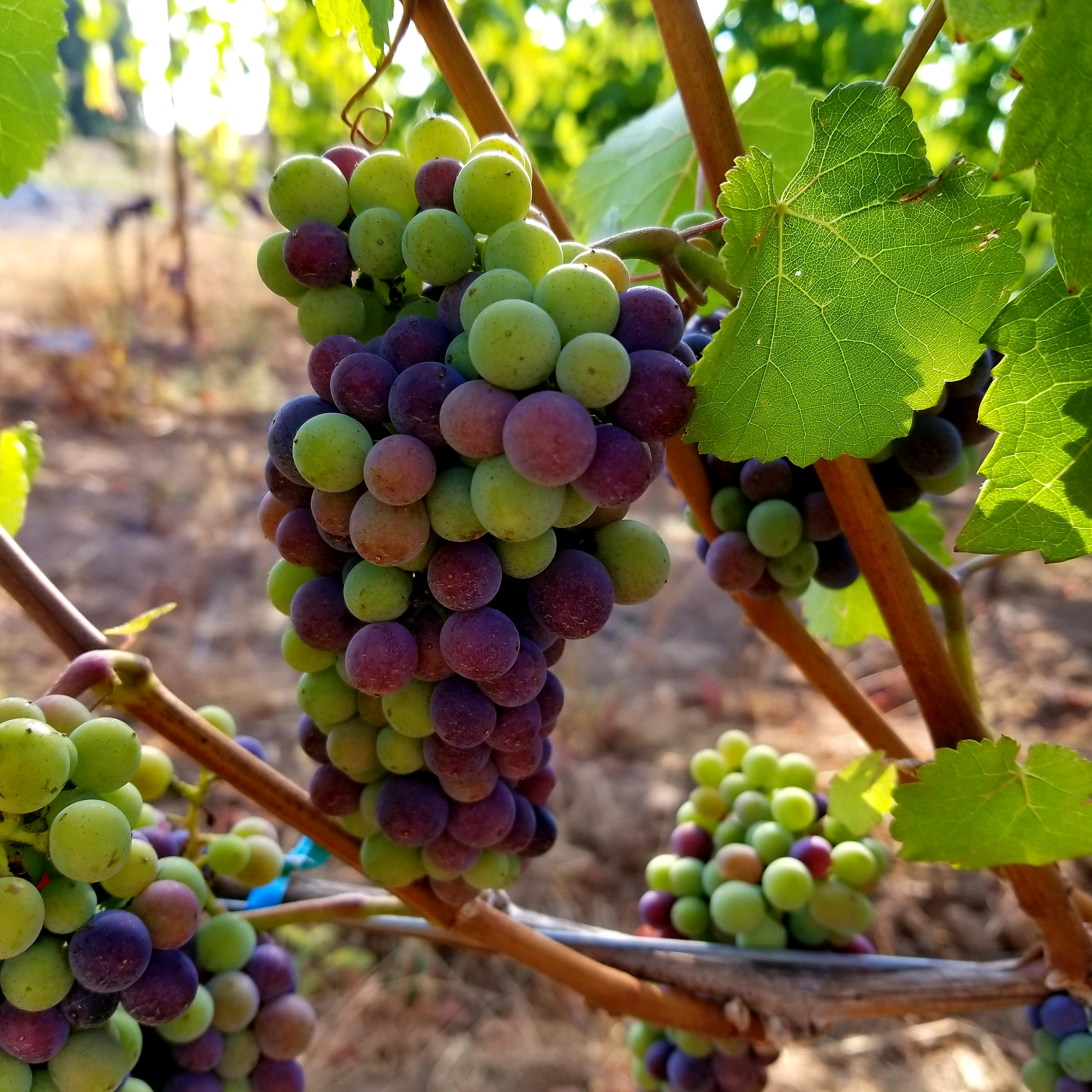 veraison at Ponzi Vineyards