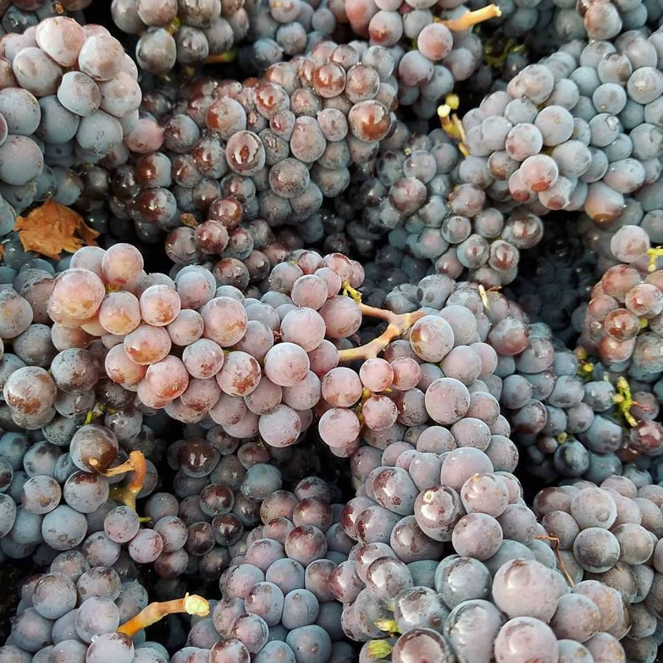 Pinot gris harvest at Ponzi Vineyards