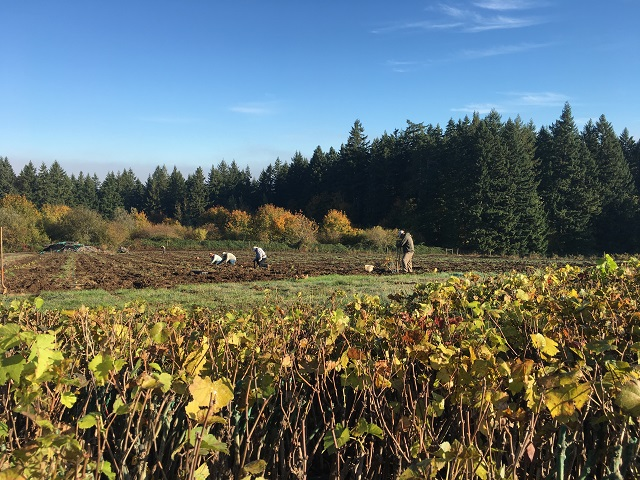 New vineyard at Ponzi's Avellana site in Oregon's Willamette Valley
