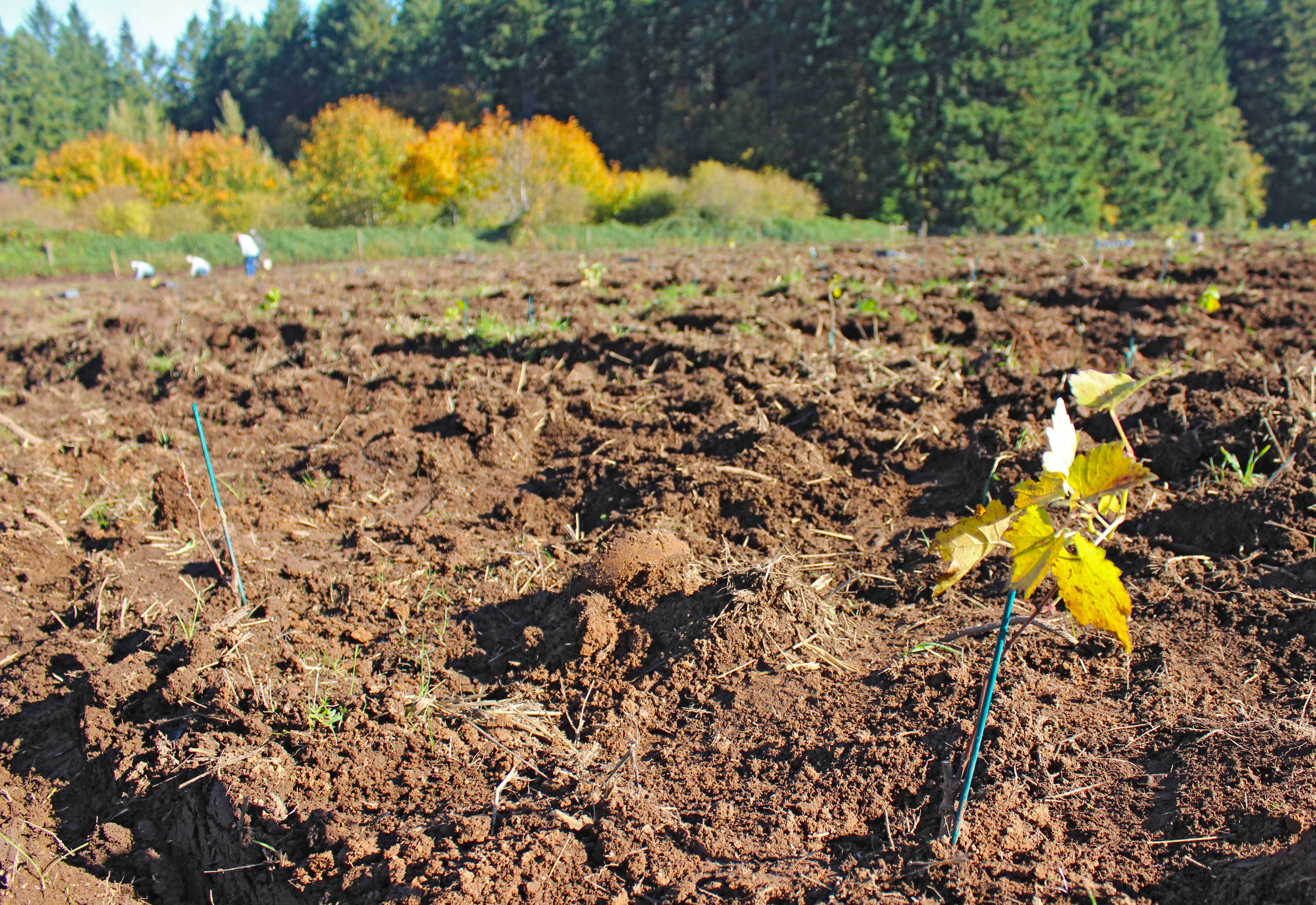 Planting Nebbiolo and Pinot noir in Avellana Vineyard in Oregon's Willamette Valley