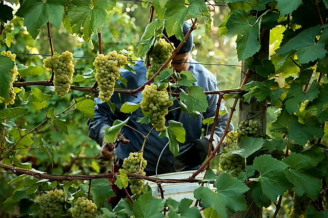 harvesting Chardonnay at Ponzi Vineyards