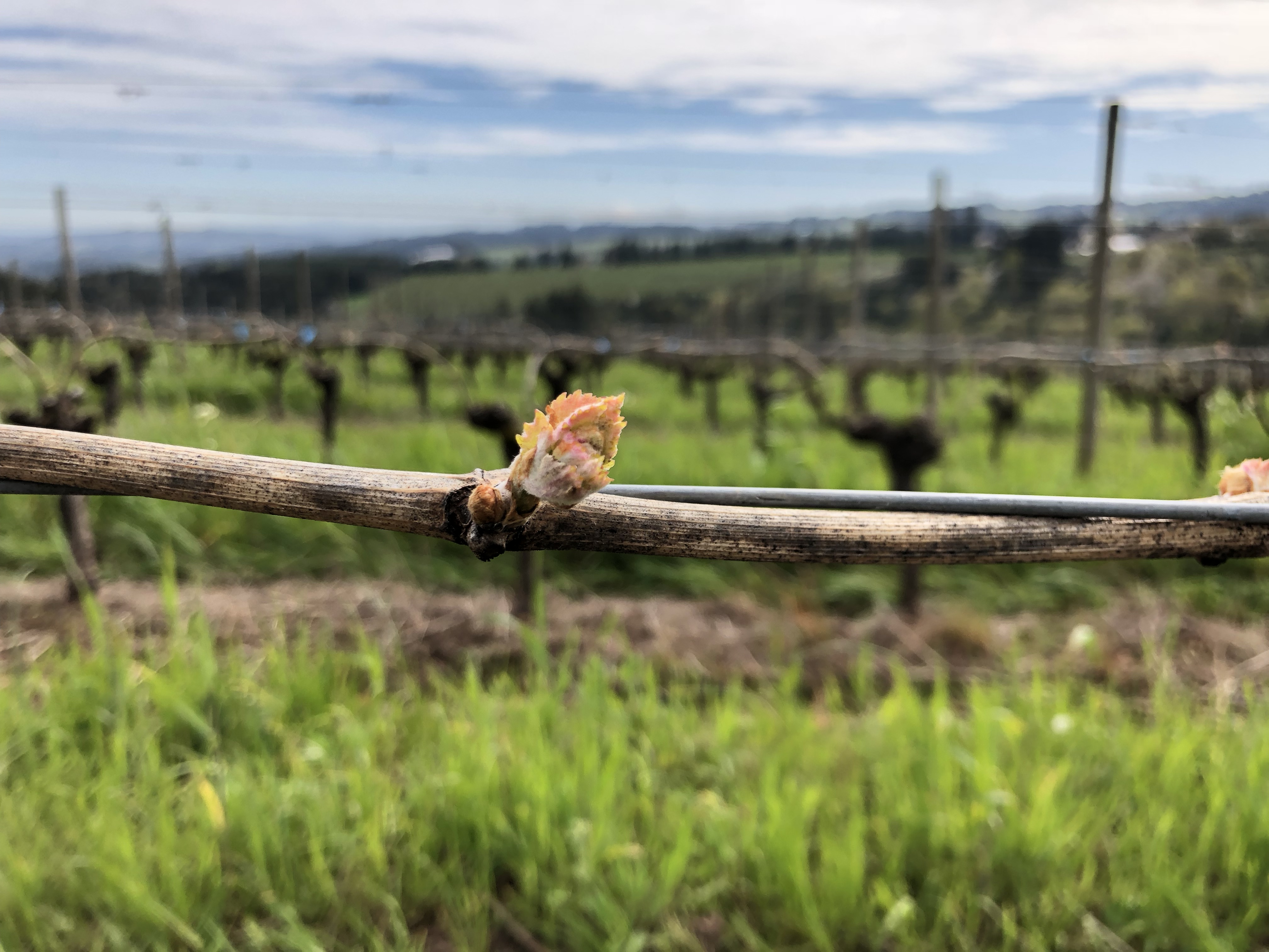 Chardonnay bud break at Ponzi Vineyards