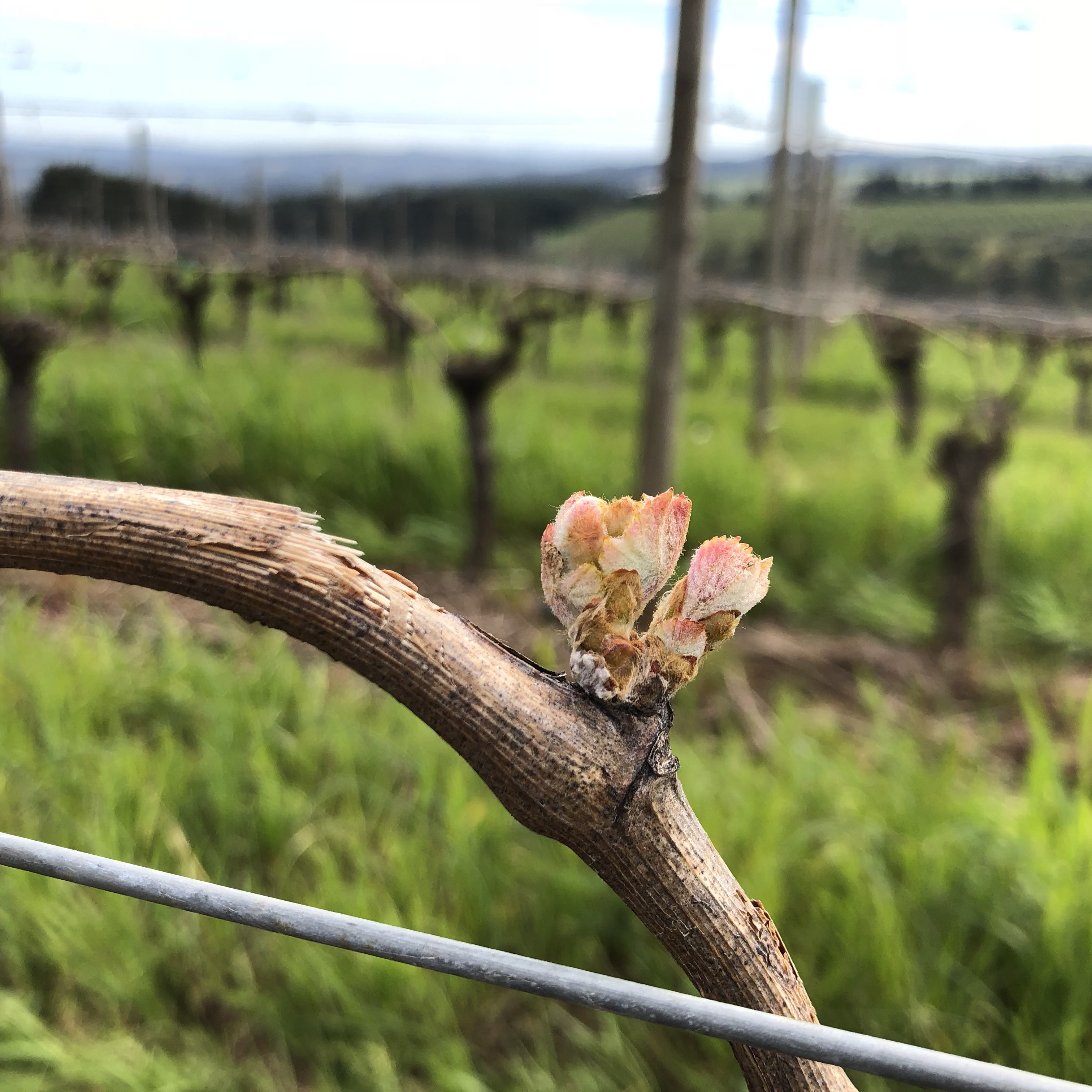Bud break at Ponzi Vineyards