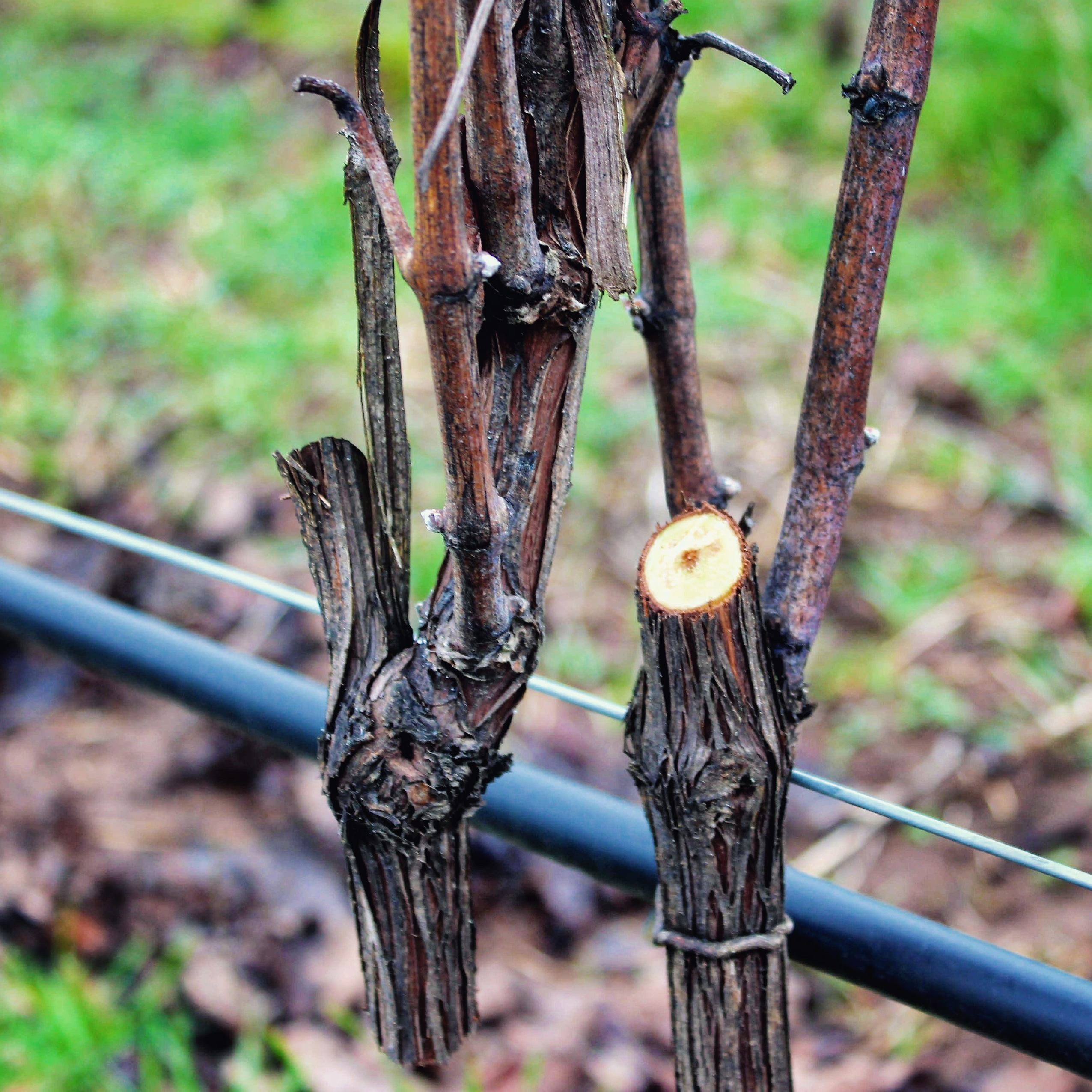 pruned vine at Ponzi Vineyards