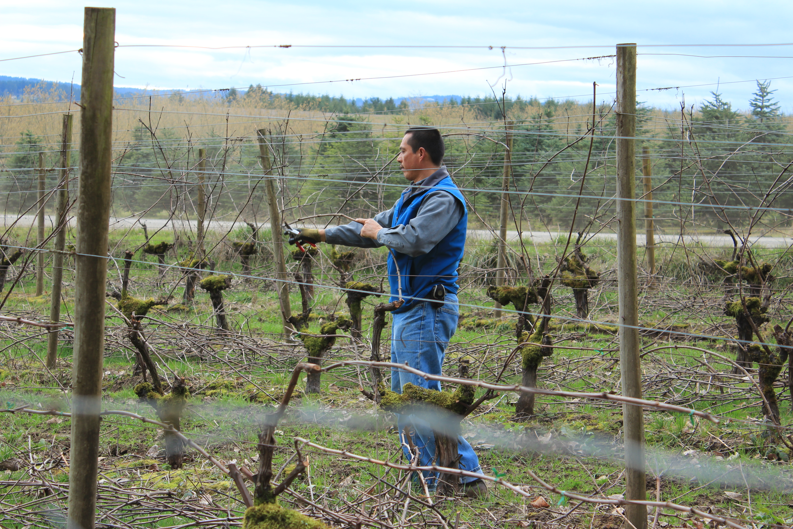 Vineyard Manager Miguel Ortiz prunes the vines