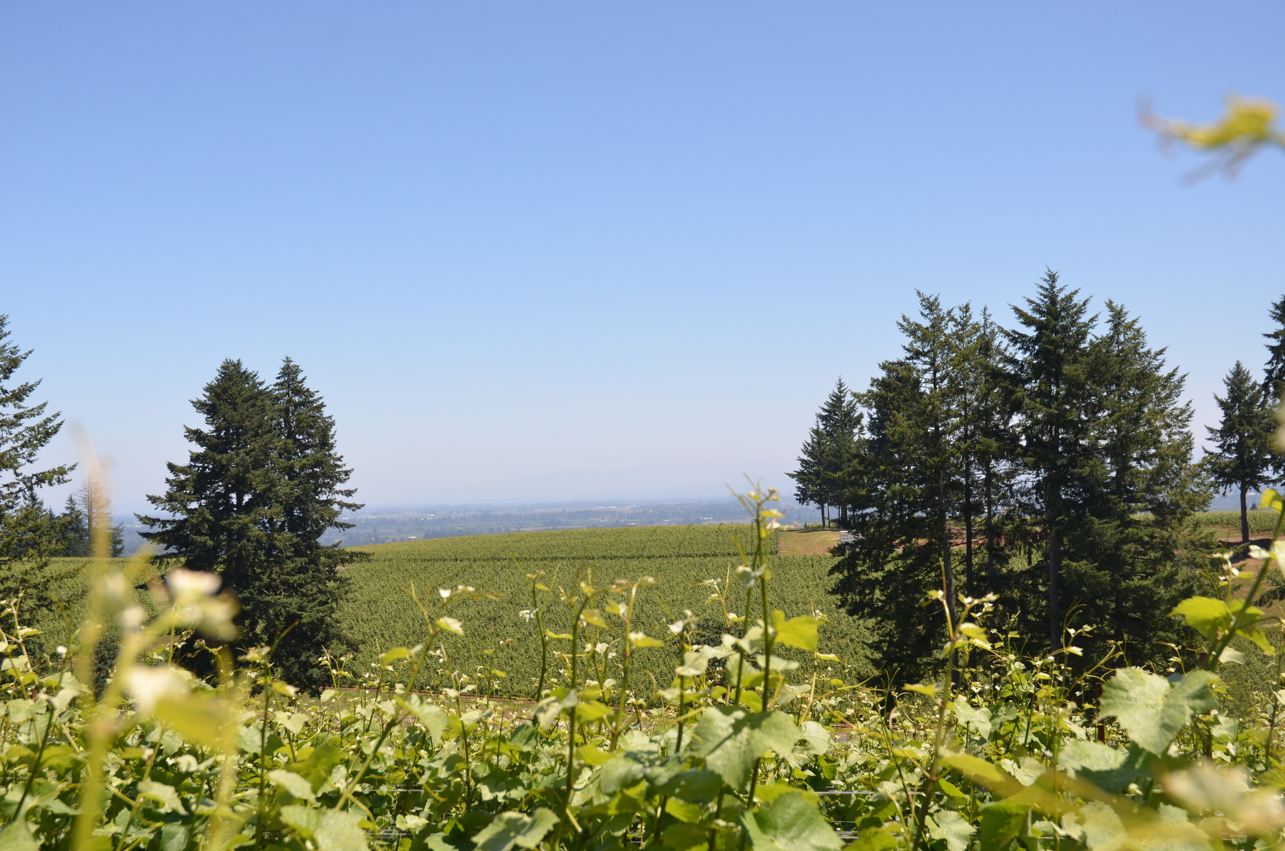 Bieze vineyards is one of the vineyards featured in the 2015 Ponzi Classico Pinot noir