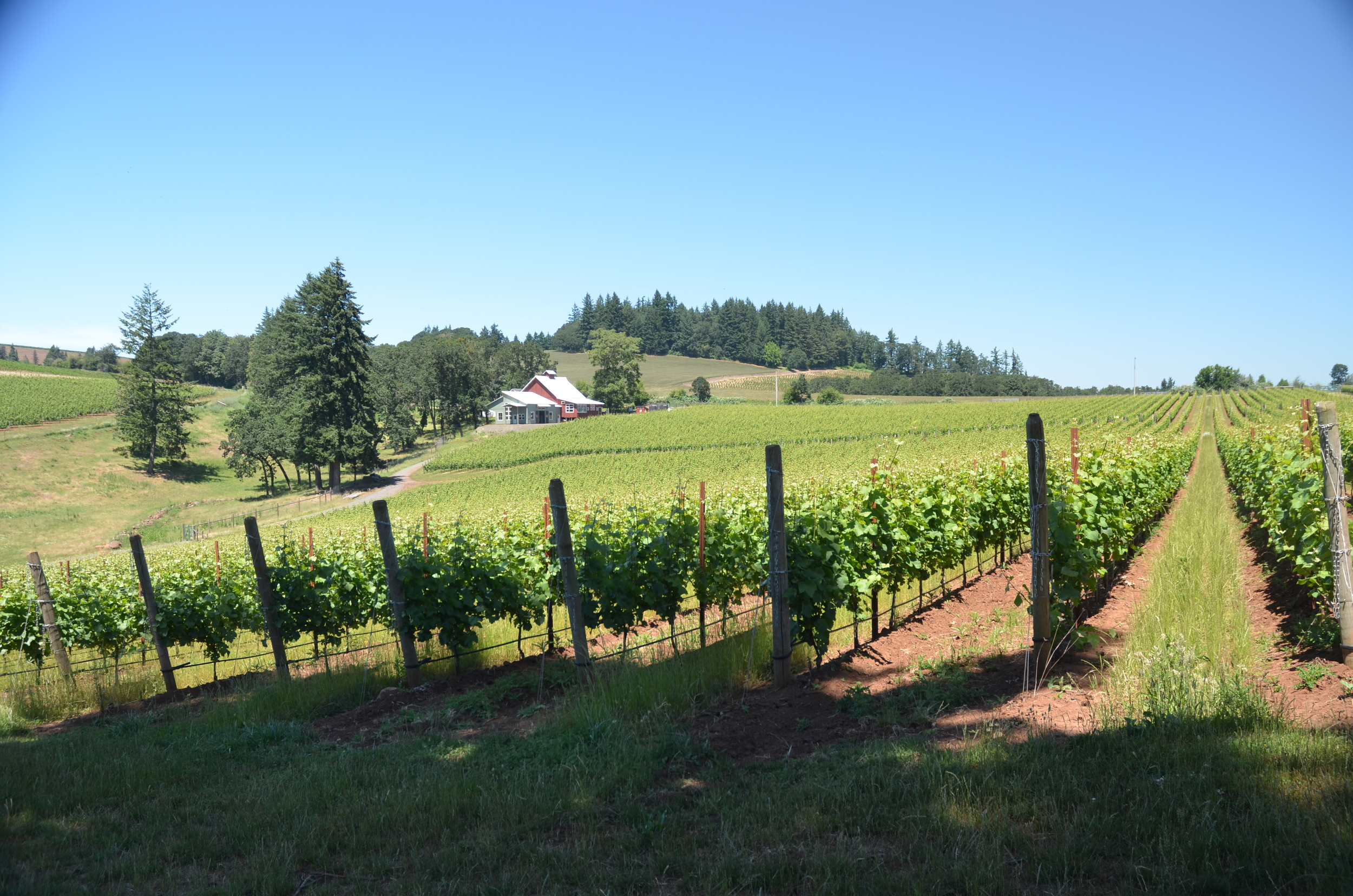 Bieze vineyard is one of the featured vineyards in the 2015 Ponzi Classico Pinot Noir